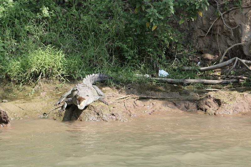 An alligator in the Cañon del Sumidero